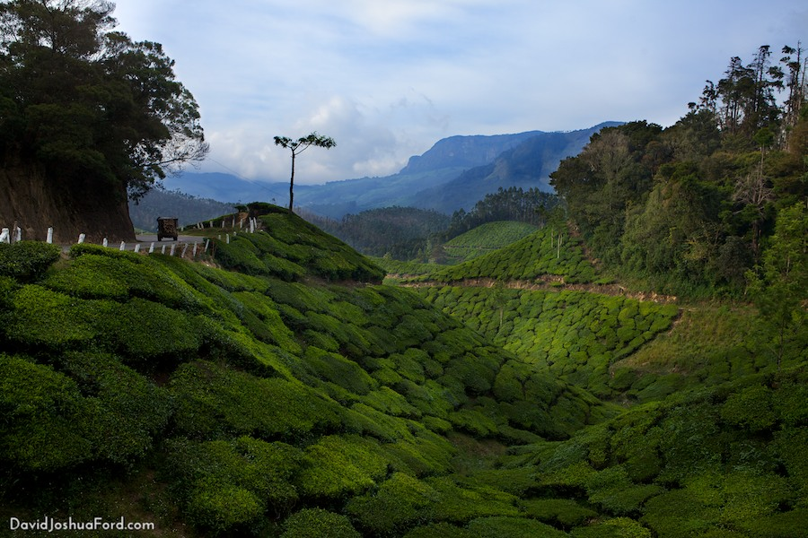 Munar tea pantations, Kerala, India